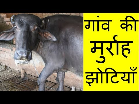 25 Murrah buffalo for sale directly from village of Punjab