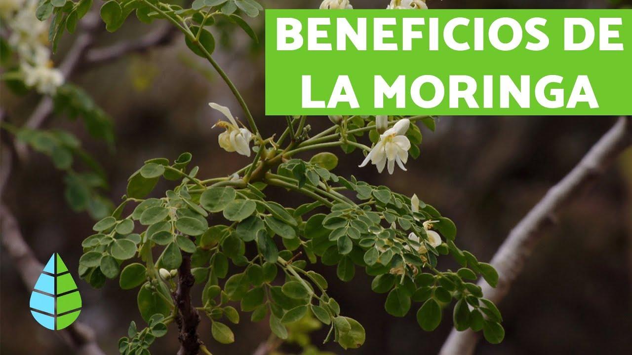 semilla+de+moringa+beneficios+y+propiedades