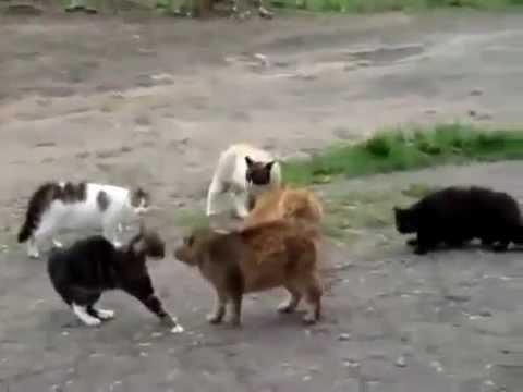 Драка котов на 2