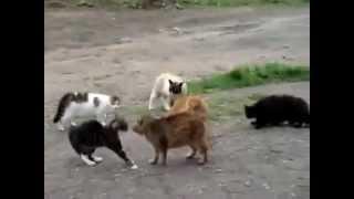 Массовая драка котов