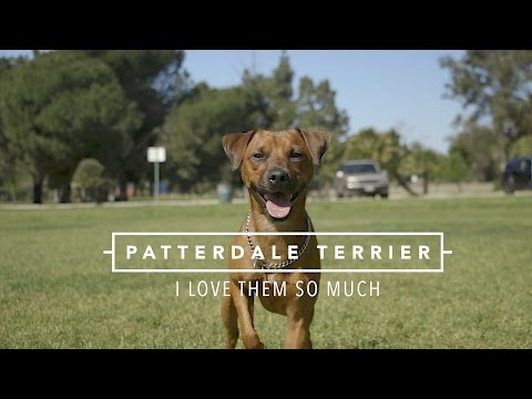 PATTERDALE TERRIERS I LOVE THEM SO MUCH