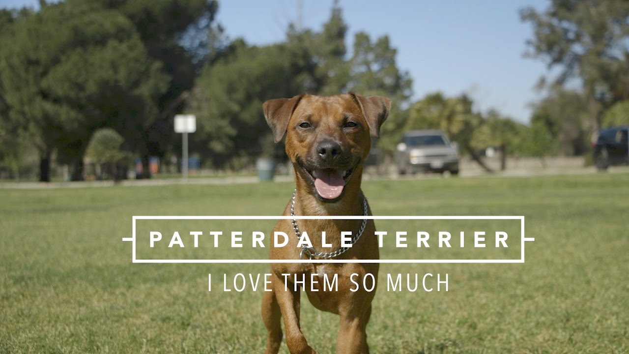 Patterdale Terriers I Love Them So Much Youtube