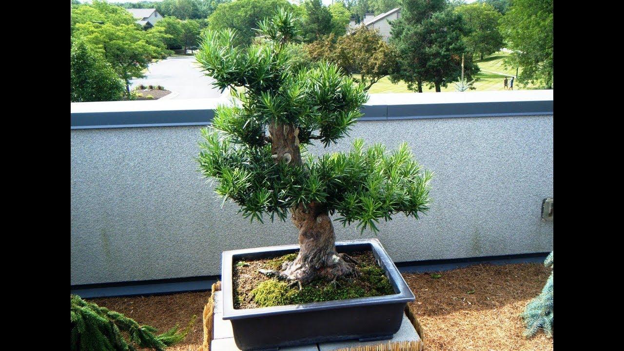 Podocarpus Macrophyllus Youtube