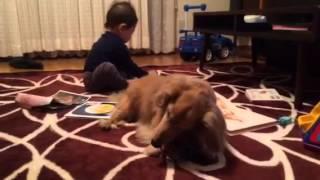 お兄ちゃん犬パニックと1歳のリオがボールを取り合う。勝者はパニック!!