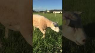 Présentation de quelques agneaux de 2017