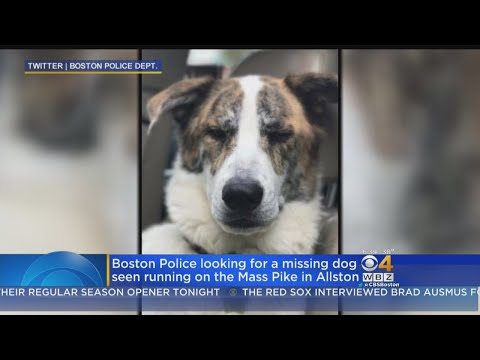 Police Search For Missing Dog Seen Running On Mass Pike