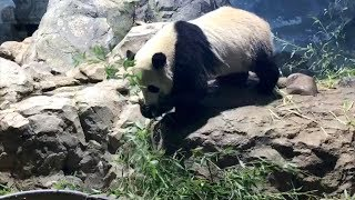 Bei Bei just can't stop eating