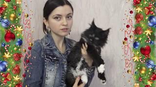 ЛИРИКУМ ЗавЗдрав Бестович - котенок мейн-кун здоровяк 2 месяца с хвостиком