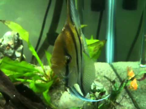 What Is Wrong With My Angel Fish's Eye?