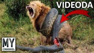 En İnanılmaz 11 Hayvan Kavgası (Hayvan Belgeseli)