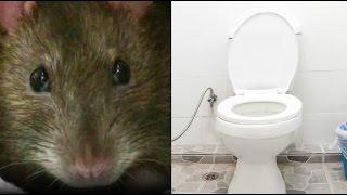 Können Ratten wirklich durchs Klo kommen?