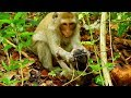 OMG ! Never seen mom monkey cruelly fight her baby like this | Cora fight baby Cody