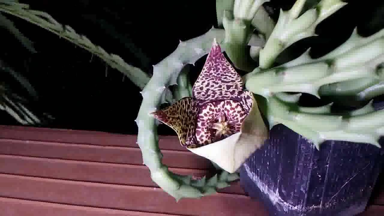 How to bloom cactus orbea variegata stapelia variegata for Stapelia variegata