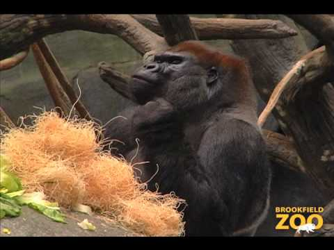 JoJo Gorilla Arrives at Brookfield Zoo