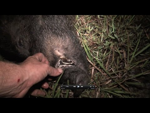 Hog Hunting With A Bow And Arrow!