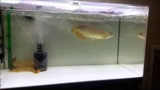 アロワナ 小赤とカエル 捕食