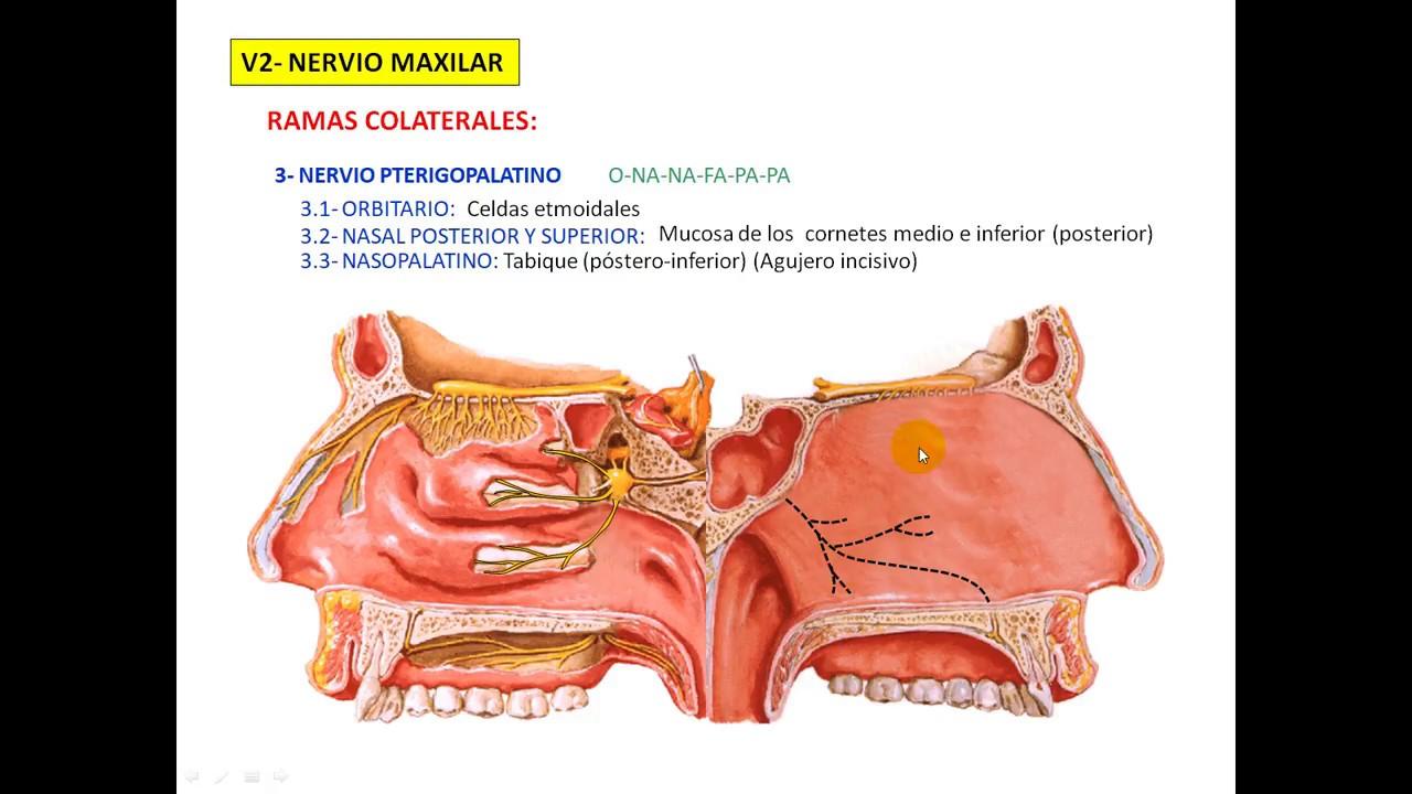 Nervio pterigopalatino - - clipzui.com