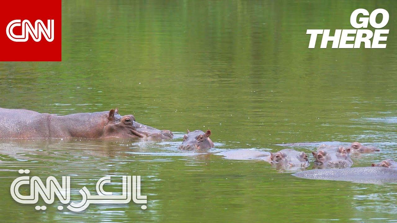 أفراس نهر زعيم المخدرات الشهير بابلو إسكوبار تسبح بحرية في كولومبيا  - نشر قبل 4 ساعة