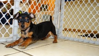 Miniature Pinscher, Puppies, For, Sale, In, Jackson, Mississippi, Ms, Clinton, Pearl, Horn Lake
