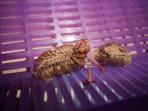 Praying Mantis Egg Hatching Time Lapse Youtube