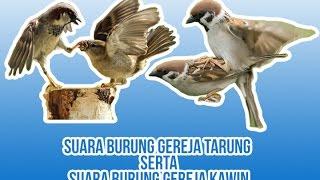 Kumpulan Suara masteran Burung Gereja Untuk memaster burung anda