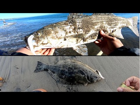 Keeper Halibut And Striped Bass From Shore [Surf Fishing A Dropshot Rig]