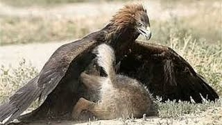 Repeat youtube video bear vs  eagle ,eagle attack bear 2015 HD New !Male Lion Vs Crocodile