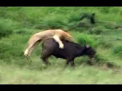 Thumbnail: Incredible Attempt By Lions To Hunt A Buffalo - Latest Wildlife Sightings