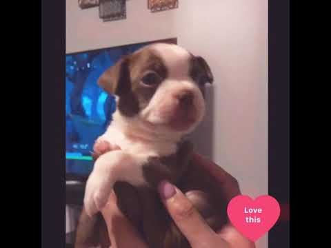 Happiest smiling Boston Terrier puppy