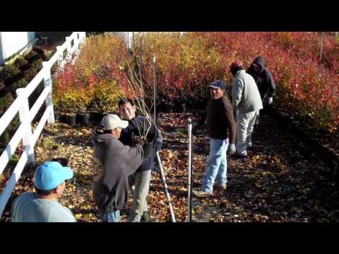 Best Blueberry Plant Varieties - DiMeo Blueberry Plants Nursery
