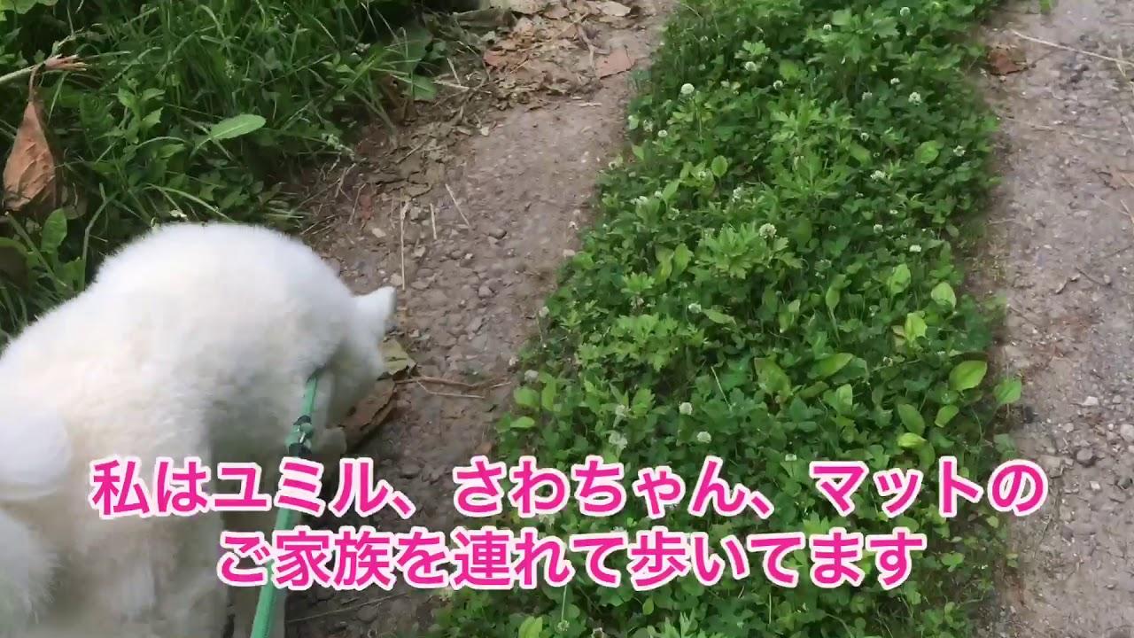 秋田犬専門チャンネル 秋田犬専門犬舎竜華苑 別ルート歩くわよ