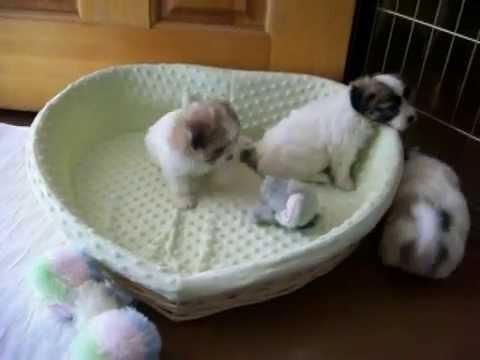 6 week old coton de tulear puppies