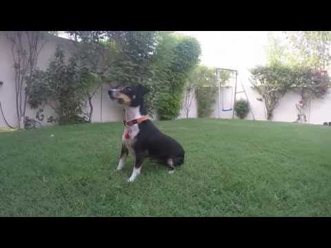 Lola Ball - Jack Russel Terrier following ball - jumps in air