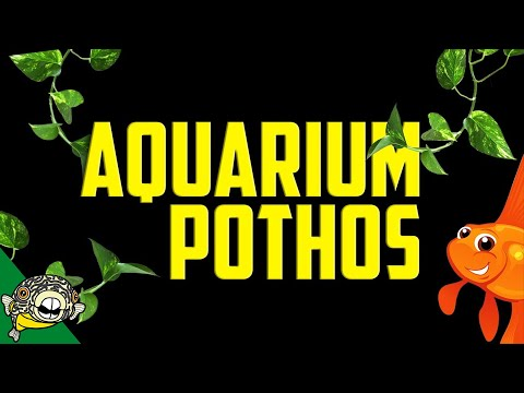Pothos in Aquarium Plant Filter - Removes Nitrates