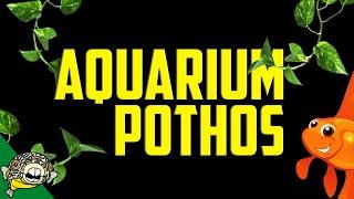Pothos in Aquarium Plant Filter - Removes Nitrates