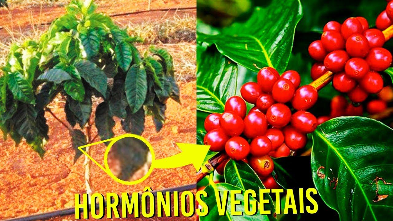 HORMÔNIOS VEGETAIS (FISIOLOGIA VEGETAL) | AGRONOMIA
