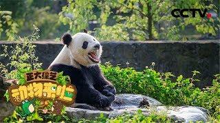[正大综艺·动物来啦]判断题 大熊猫为什么不爱洗澡?| CCTV