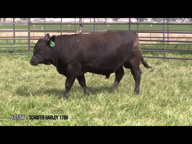 Mid Valley Bull Sale Lot 56