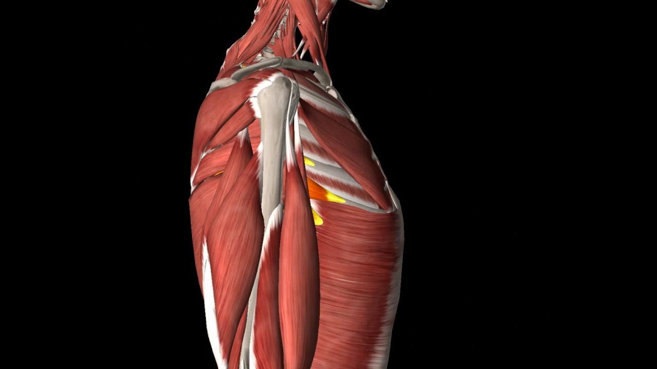 9 Muscle Gross Anatomy Some Shoulder Mm Youtube