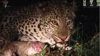 Leopard Eats Baby Bok #youtubeZA