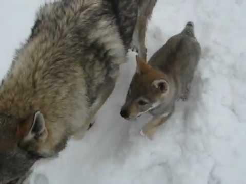 Carattere lupo cecoslovacco, cucciolo con la madre , Lupi del Montale
