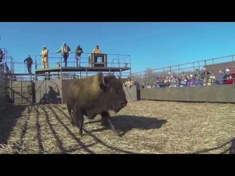 Buffalo Auction Maxwell Wildlife Refuge 2013
