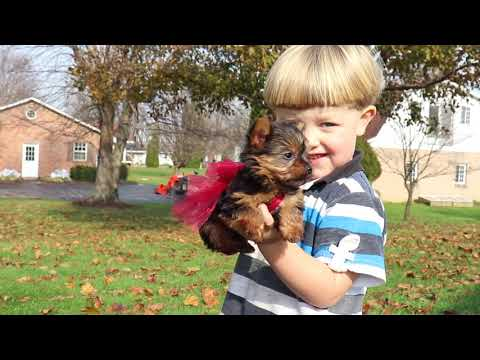 Puppies For Sale Brentwood Pennsylvania | Pittsburghtoday