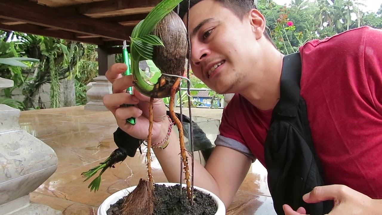 Bonsai Kelapa Minion Mulai Belajar Berdiri Dan Sayat Tipis Youtube