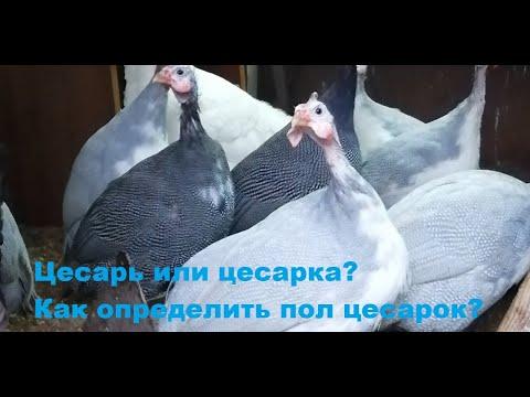 Вопрос: Что делать в ситуации, когда куриный петух топчет цесарок?