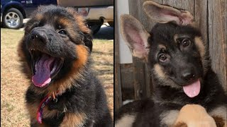Funniest German Shepherd Puppies  & Dogs  Playing Cutest Dog Compilation ❤ #2020