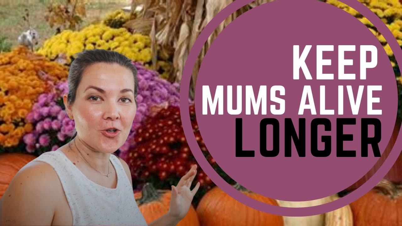 How To Keep Your Mums Alive For Fall Displays Simple Honest Design