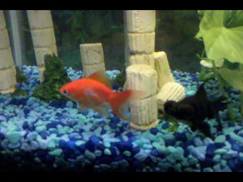 Are My Goldfish Fighting Or Playing?