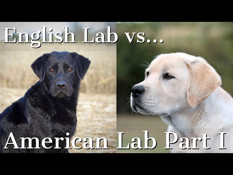 English vs American Labrador Retrievers Part 1