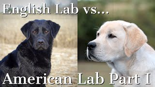 English Labrador Retriever vs American Labrador Retriever Part 1